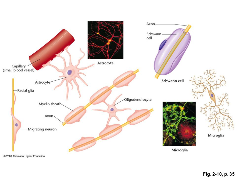 Fig. 2-10, p. 35 Figure 2.10: Shapes of some glia cells.