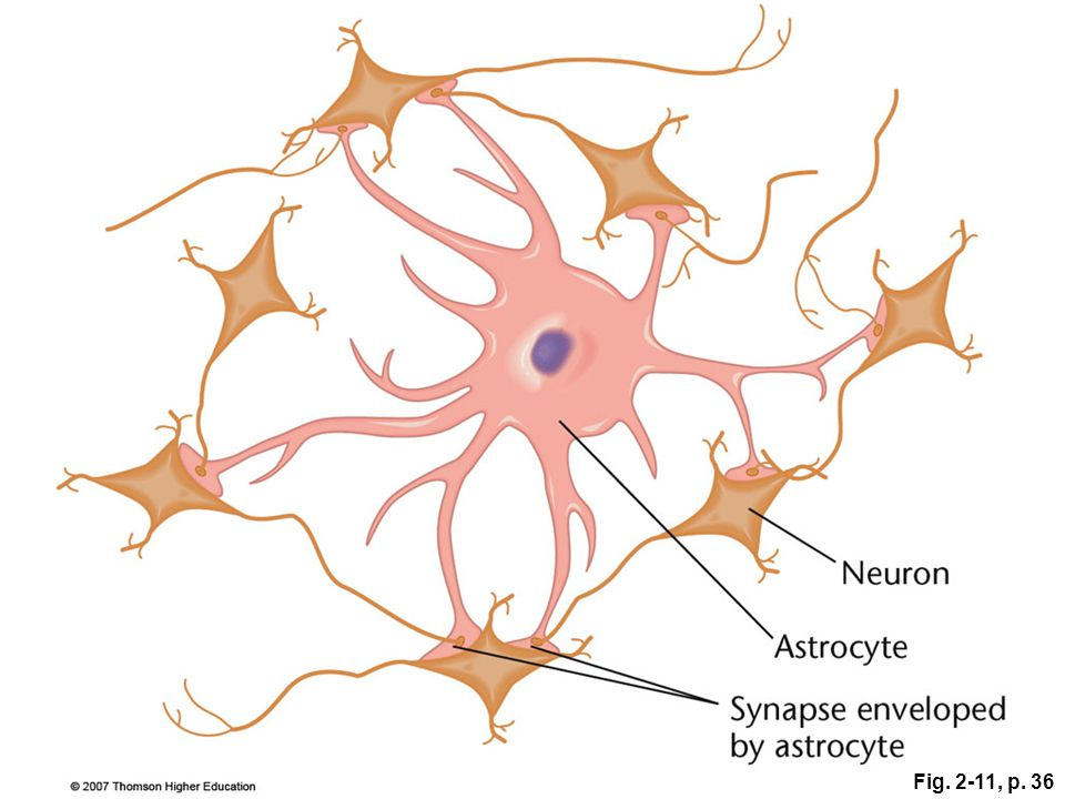 Figure 2.11: How an astrocyte synchronizes associated axons.