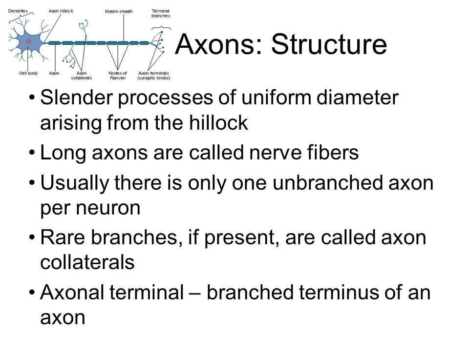 Axons: Structure Slender processes of uniform diameter arising from the hillock. Long axons are called nerve fibers.