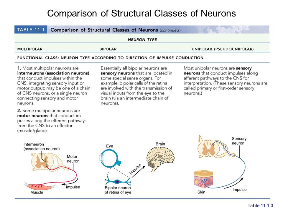 Comparison of Structural Classes of Neurons