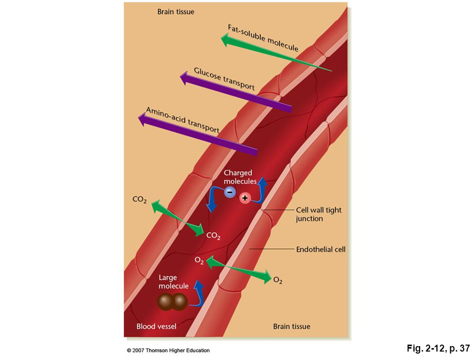 Fig. 2-12, p. 37 Figure 2.12: The blood-brain barrier.