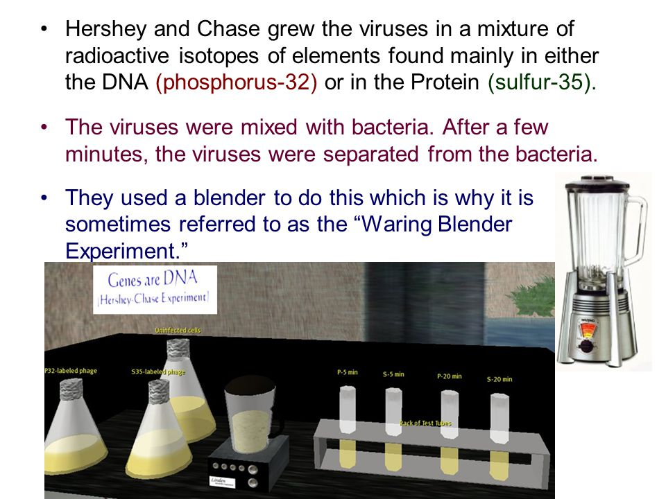 Hershey and Chase grew the viruses in a mixture of radioactive isotopes of elements found mainly in either the DNA (phosphorus-32) or in the Protein (sulfur-35).