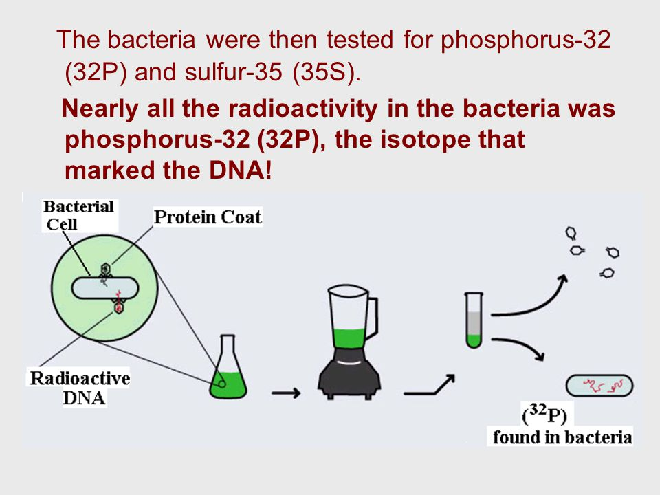 The bacteria were then tested for phosphorus-32 (32P) and sulfur-35 (35S).