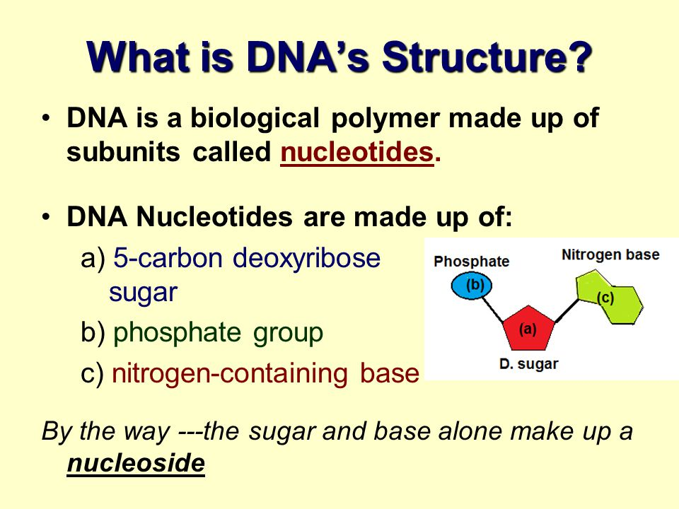 What is DNA's Structure
