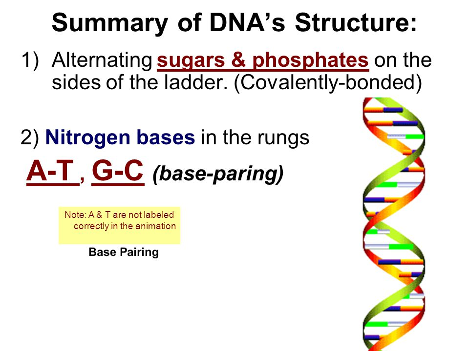 Summary of DNA's Structure: