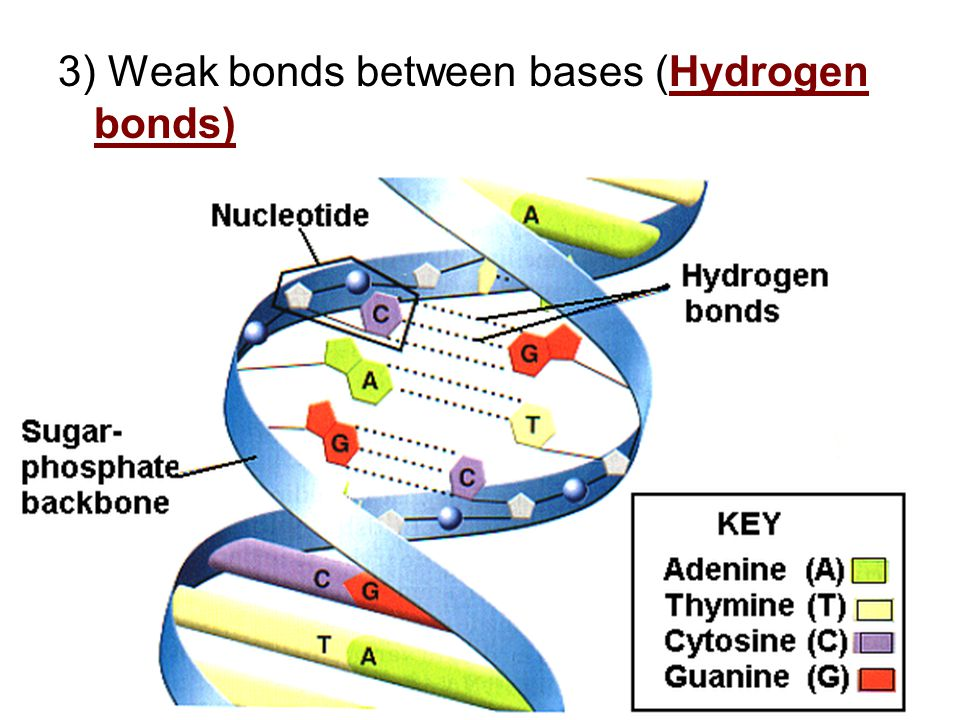 3) Weak bonds between bases (Hydrogen bonds)