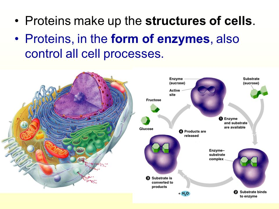 Proteins make up the structures of cells.
