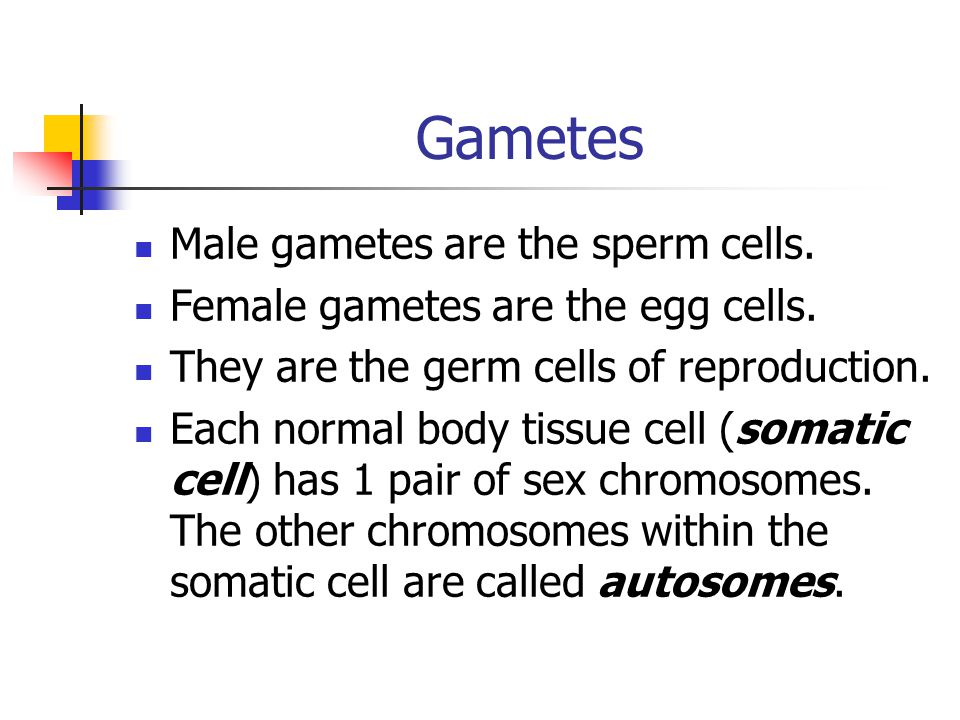 Gametes Male gametes are the sperm cells.