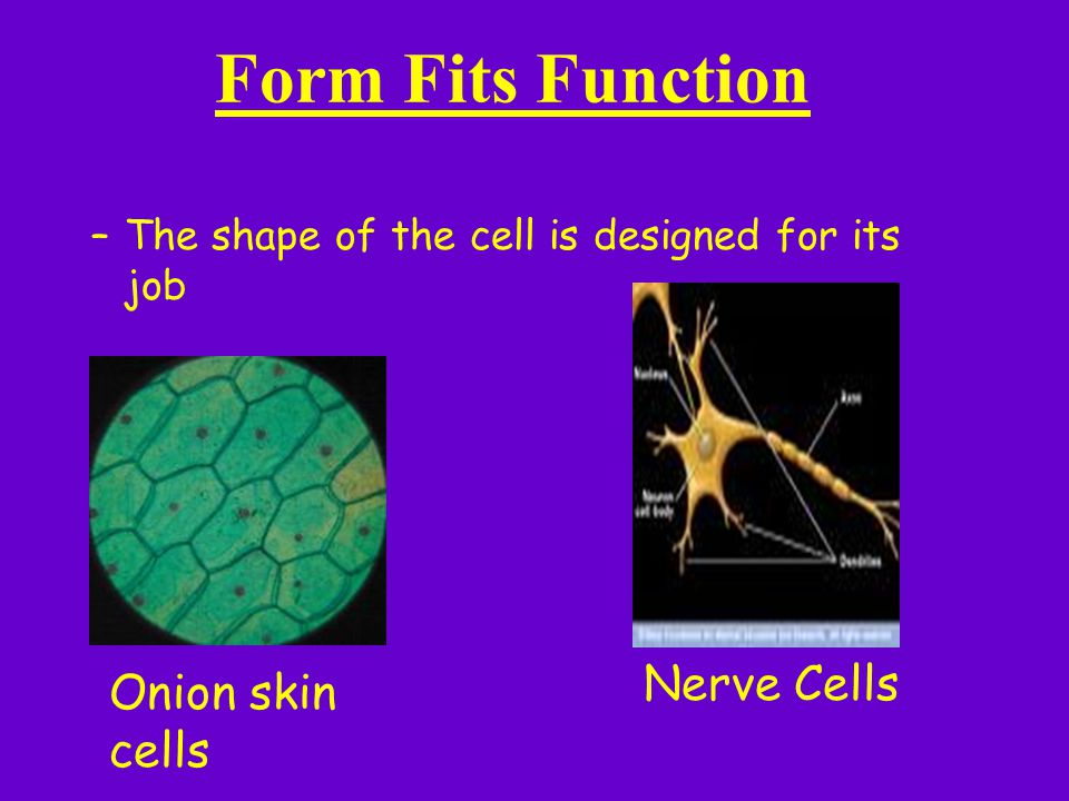 Form Fits Function Nerve Cells Onion skin cells
