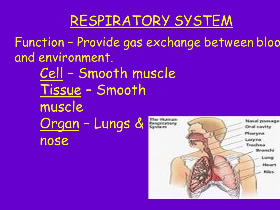 RESPIRATORY SYSTEM Cell – Smooth muscle Tissue – Smooth muscle