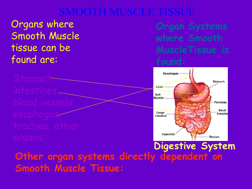 SMOOTH MUSCLE TISSUE Organs where Smooth Muscle tissue can be found are: Organ Systems where Smooth MuscleTissue is found: