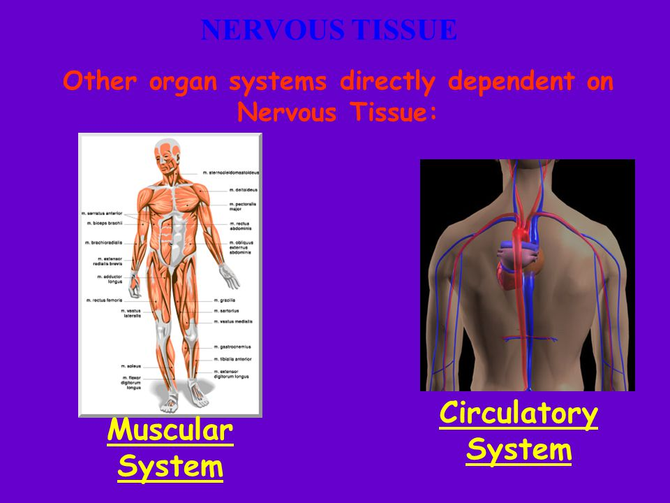 Other organ systems directly dependent on Nervous Tissue:
