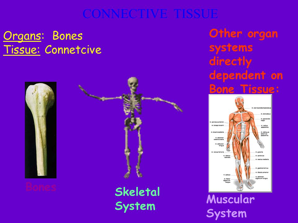 CONNECTIVE TISSUE Other organ systems directly dependent on Bone Tissue: Organs: Bones. Tissue: Connetcive.