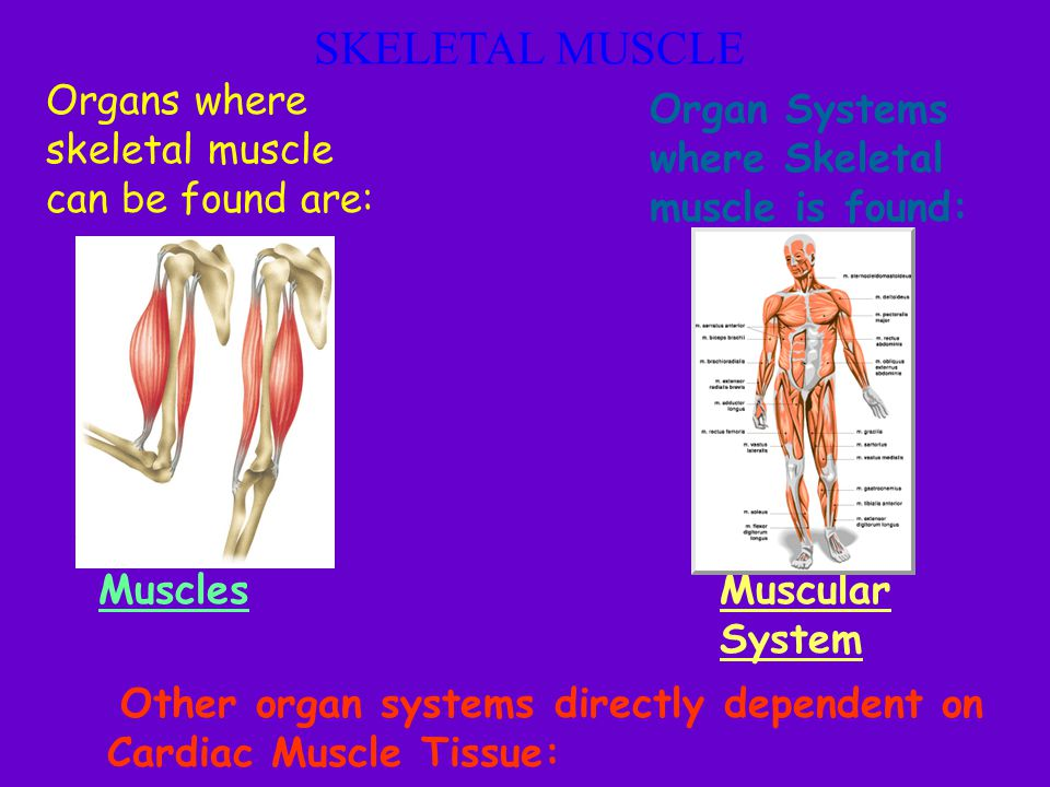 SKELETAL MUSCLE Organs where skeletal muscle can be found are: