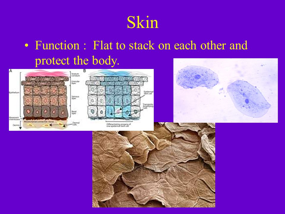 Skin Function : Flat to stack on each other and protect the body.