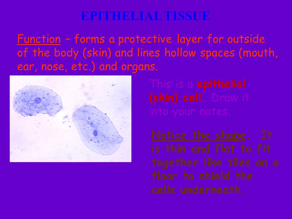 EPITHELIAL TISSUE Function – forms a protective layer for outside of the body (skin) and lines hollow spaces (mouth, ear, nose, etc.) and organs.