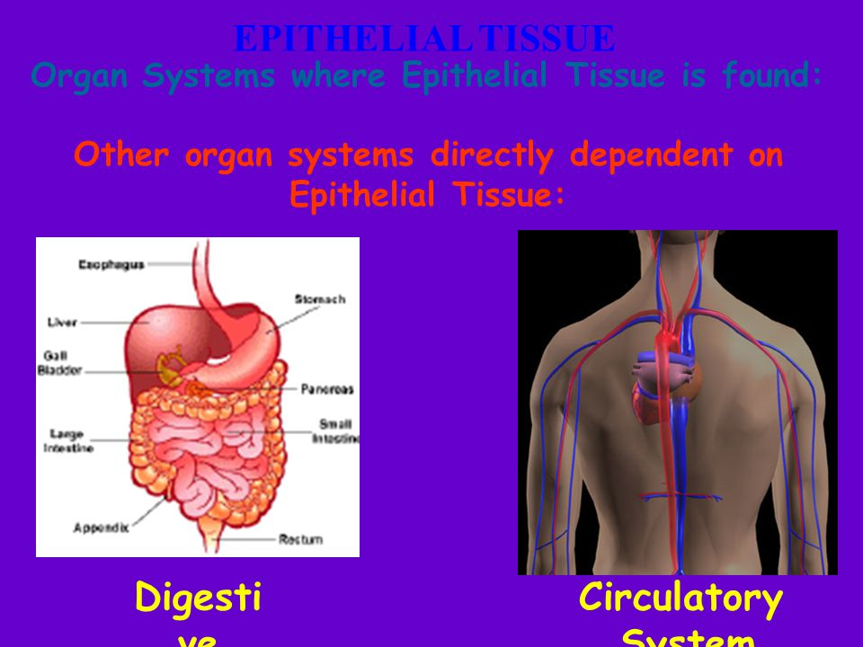 Other organ systems directly dependent on Epithelial Tissue: