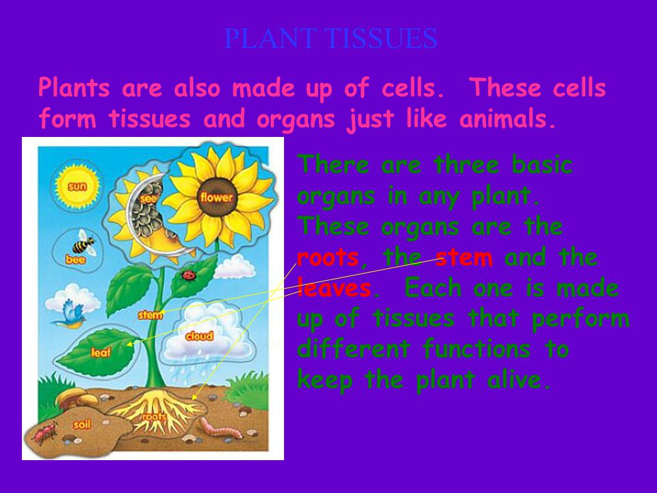 PLANT TISSUES Plants are also made up of cells. These cells form tissues and organs just like animals.
