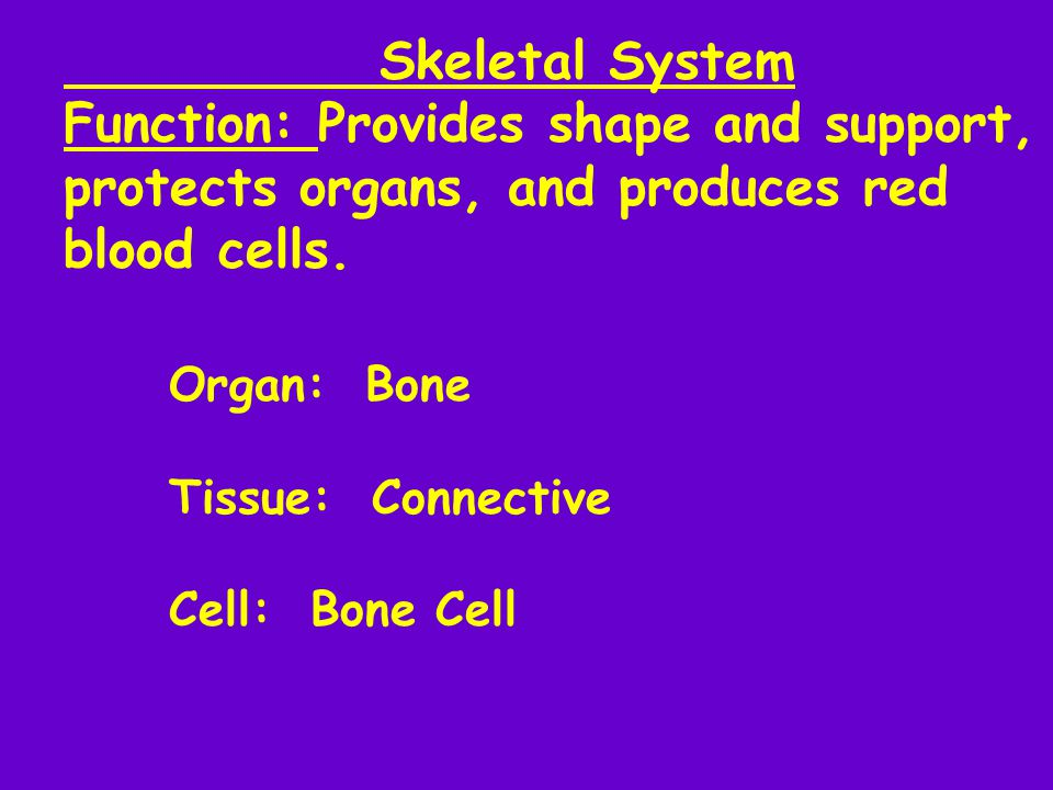 Skeletal System Function: Provides shape and support, protects organs, and produces red blood cells.