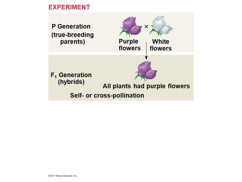 (true-breeding parents) F1 Generation (hybrids)