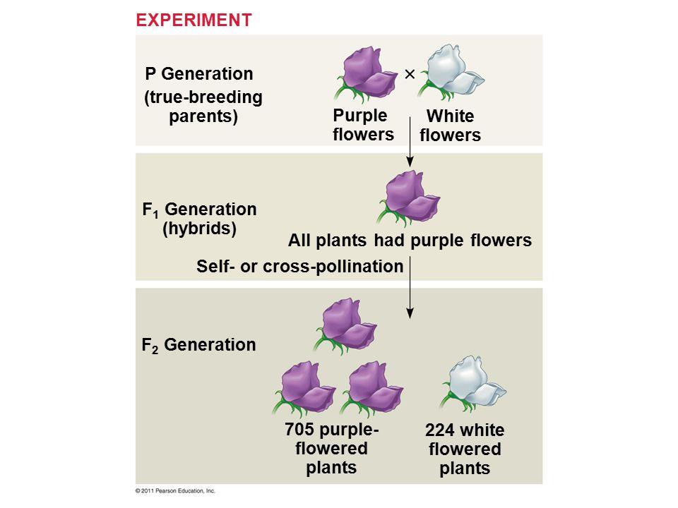 (true-breeding parents) Purple flowers White flowers