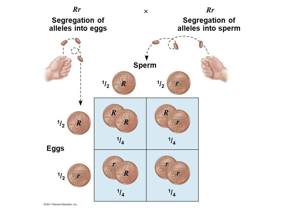 Segregation of alleles into eggs Segregation of alleles into sperm