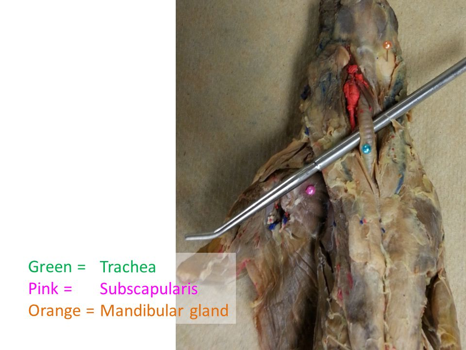 Green = Pink = Orange = Trachea Subscapularis Mandibular gland