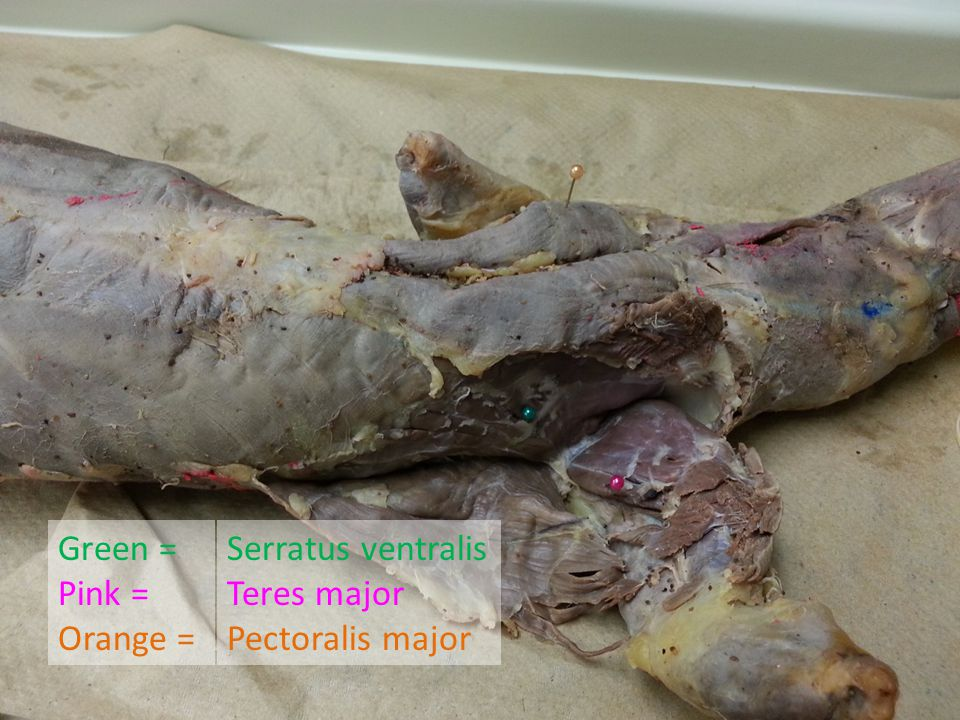 Green = Pink = Orange = Serratus ventralis Teres major Pectoralis major