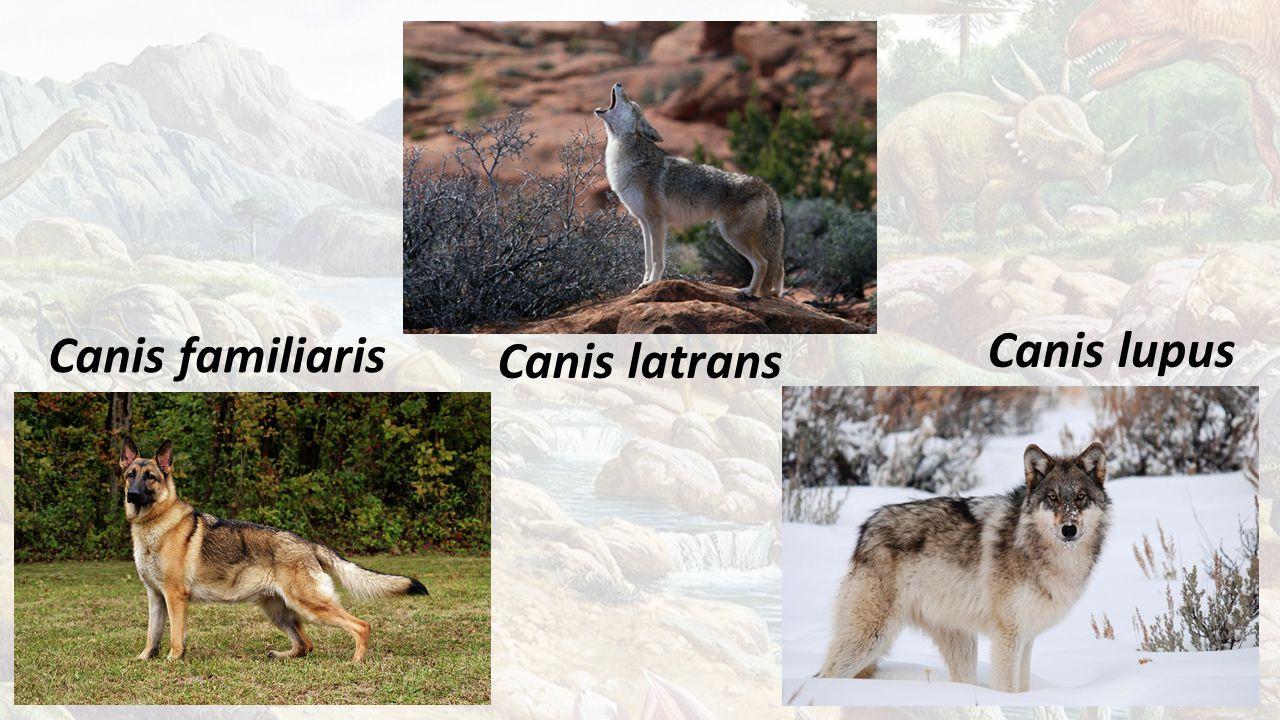 Canis familiaris Canis lupus Canis latrans