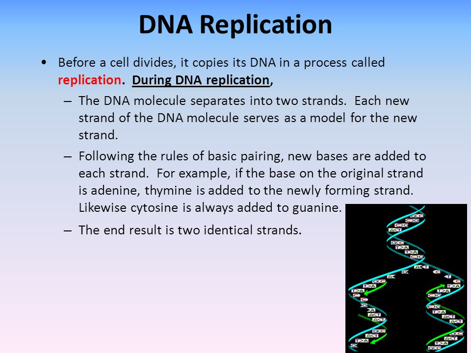 DNA Replication Before a cell divides, it copies its DNA in a process called replication. During DNA replication,