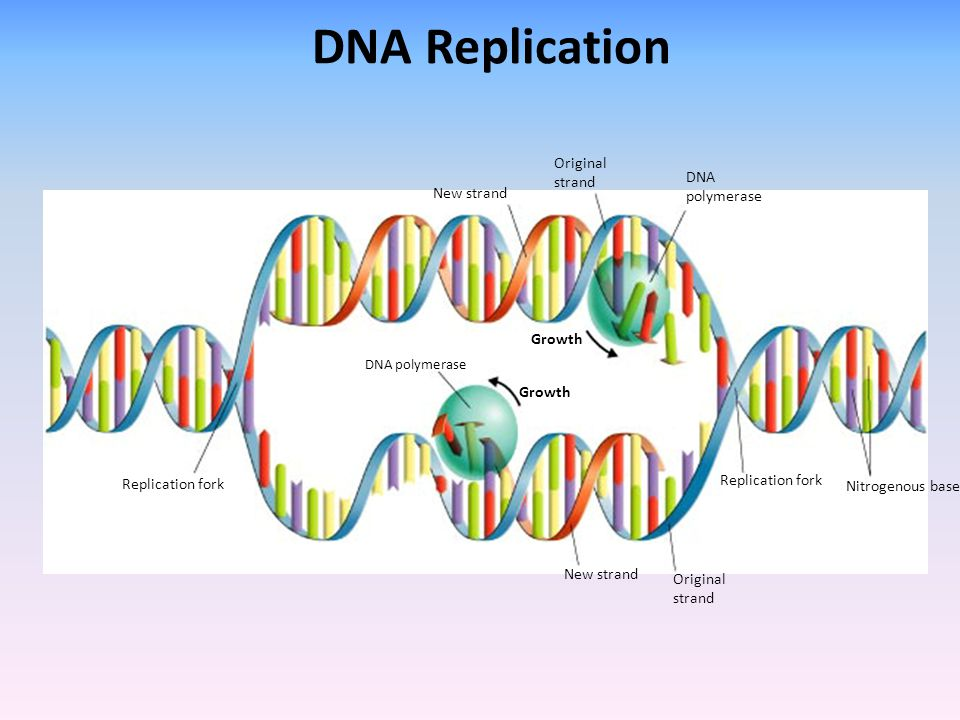 DNA Replication Original strand DNA polymerase New strand Growth