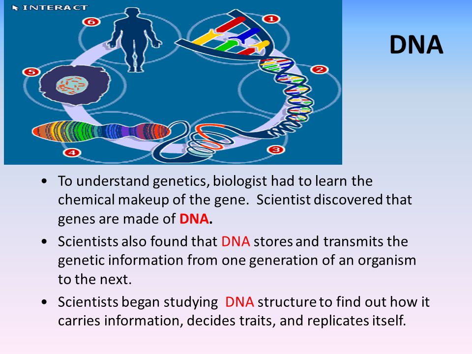 DNA To understand genetics, biologist had to learn the chemical makeup of the gene. Scientist discovered that genes are made of DNA.