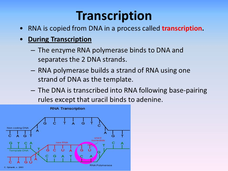 Transcription RNA is copied from DNA in a process called transcription. During Transcription.