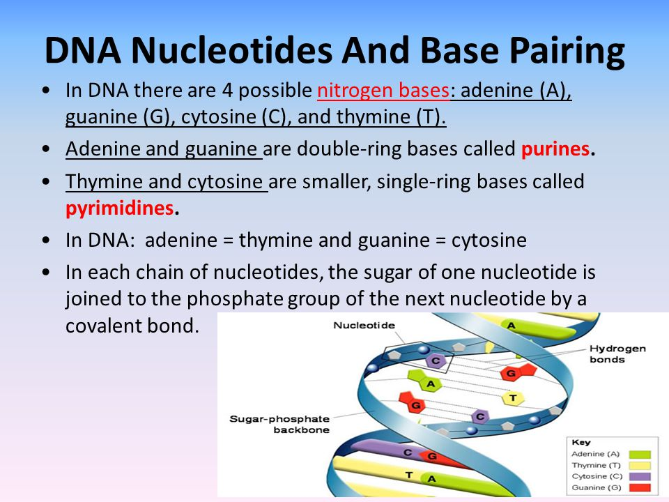 DNA Nucleotides And Base Pairing