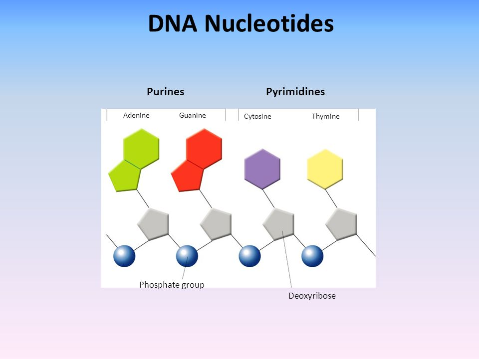 DNA Nucleotides Purines Pyrimidines Phosphate group Deoxyribose