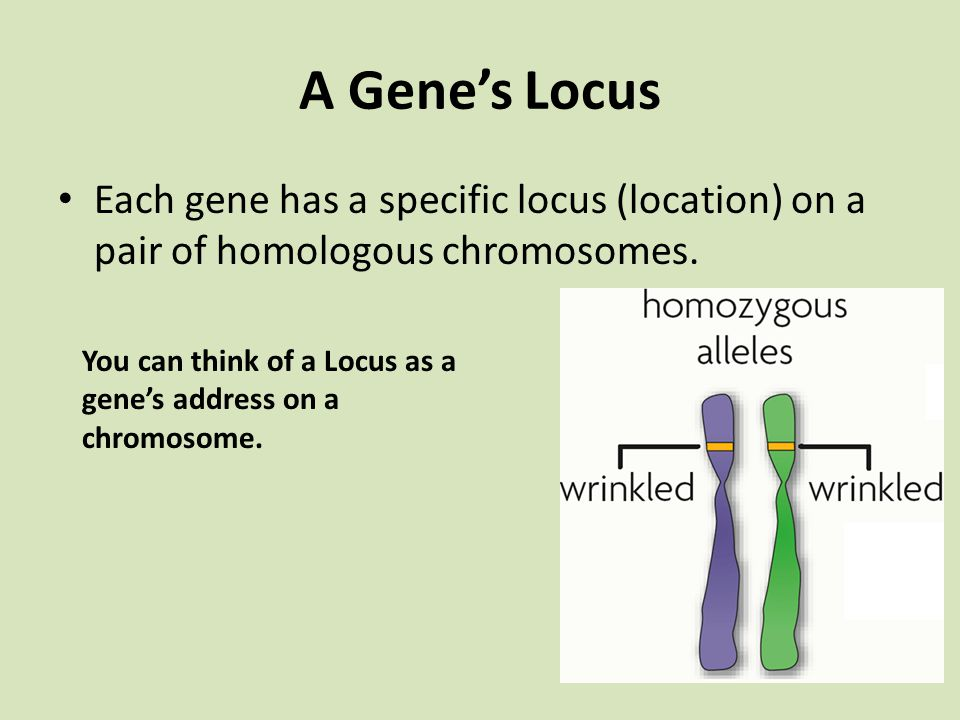 A Gene's Locus Each gene has a specific locus (location) on a pair of homologous chromosomes.