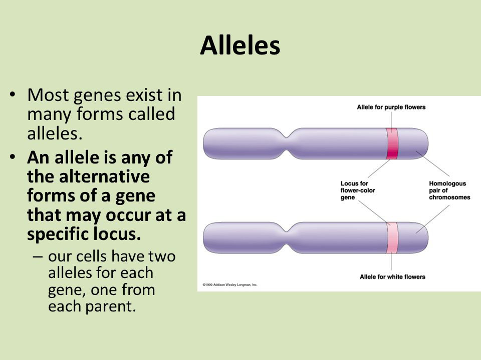Alleles Most genes exist in many forms called alleles.