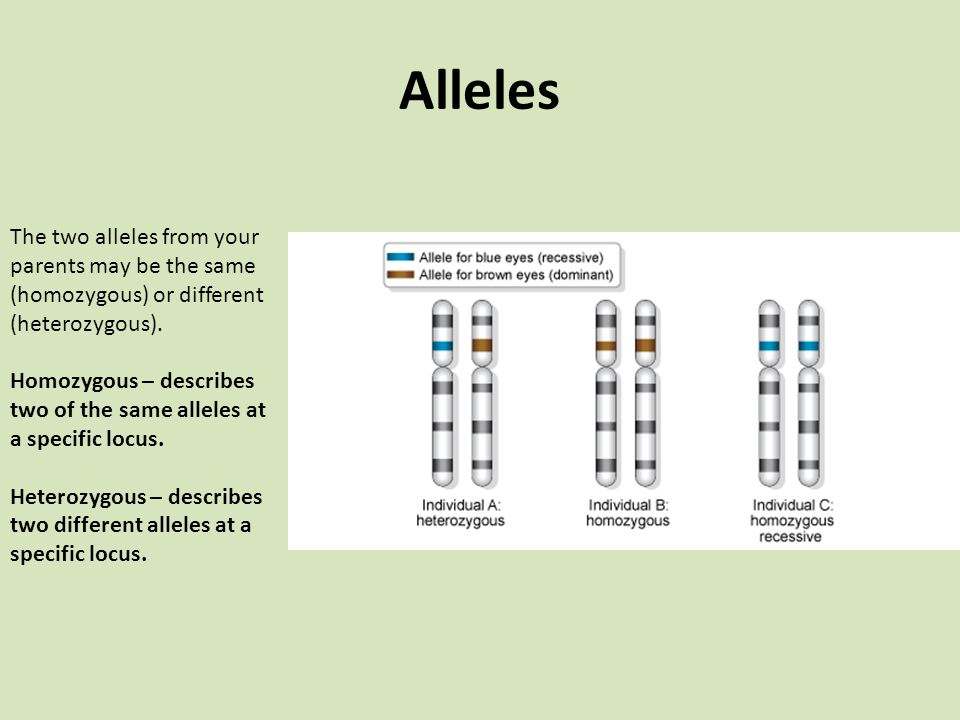 Alleles The two alleles from your parents may be the same (homozygous) or different (heterozygous).