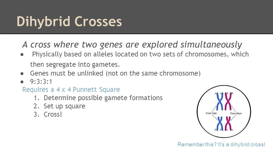 Dihybrid Crosses A cross where two genes are explored simultaneously