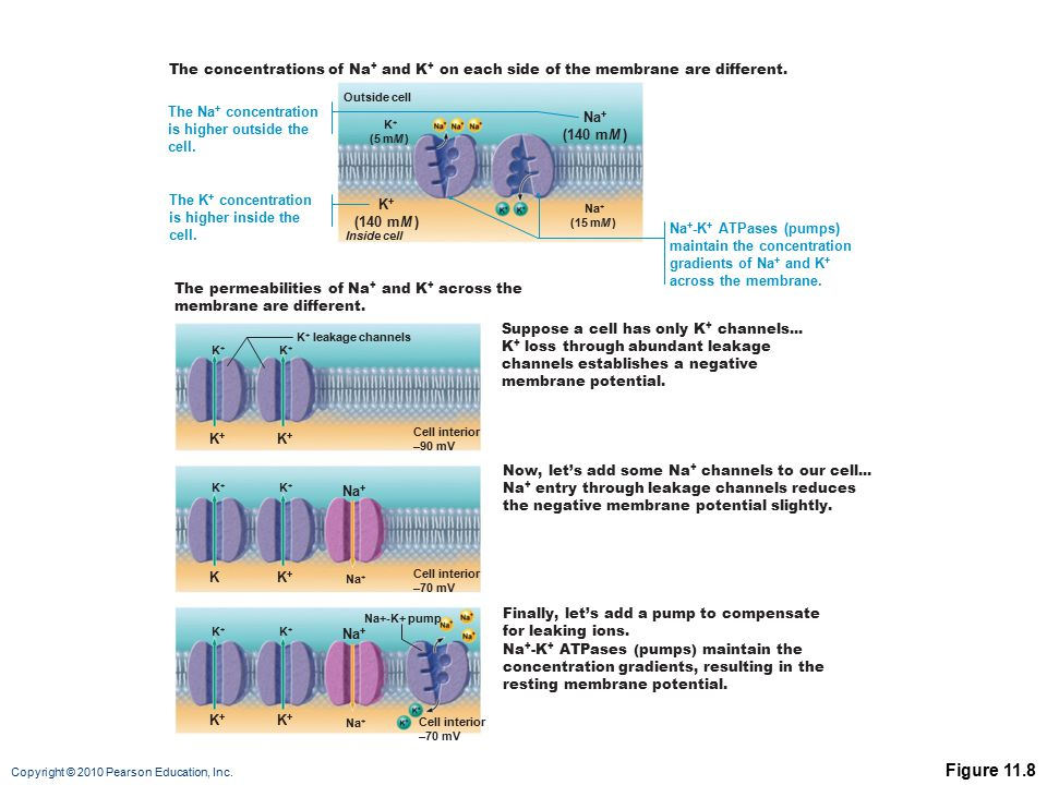 The concentrations of Na+ and K+ on each side of the membrane are different.