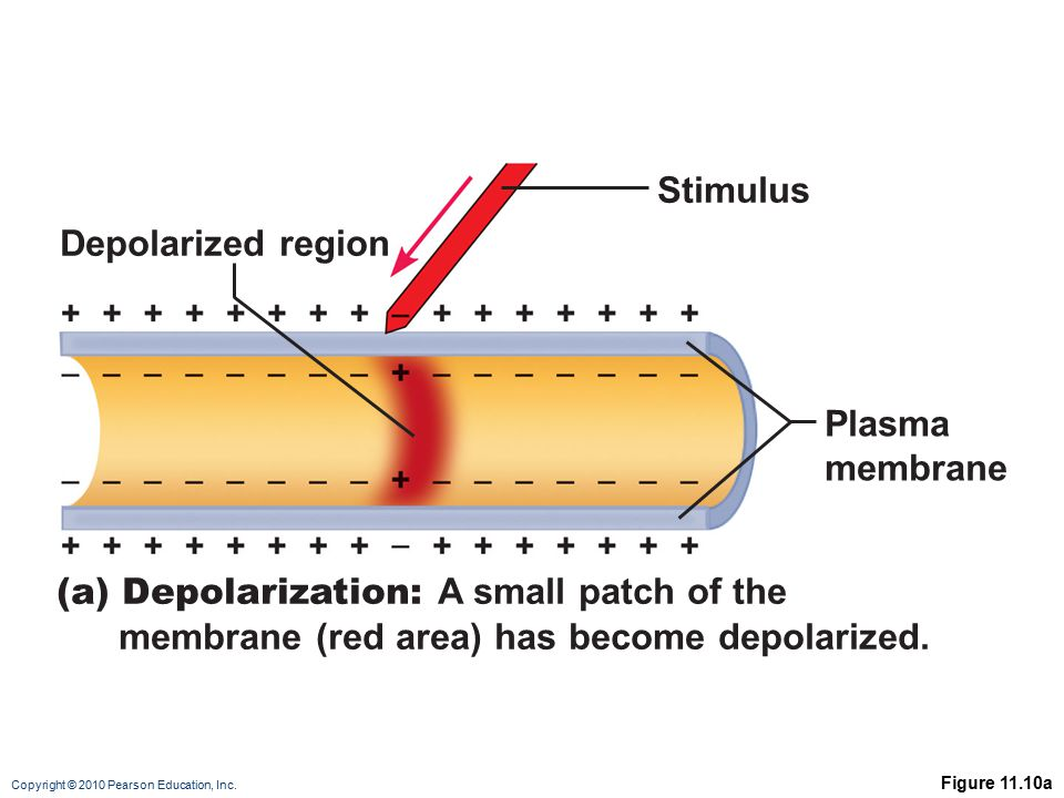 (a) Depolarization: A small patch of the