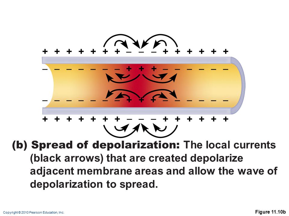 (b) Spread of depolarization: The local currents