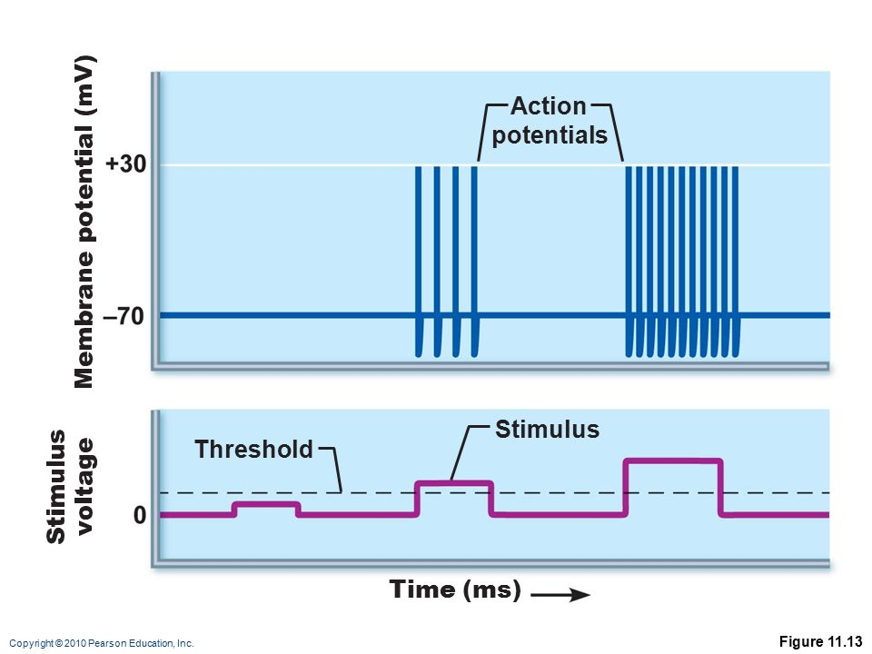 Action potentials Stimulus Threshold Time (ms) Figure 11.13