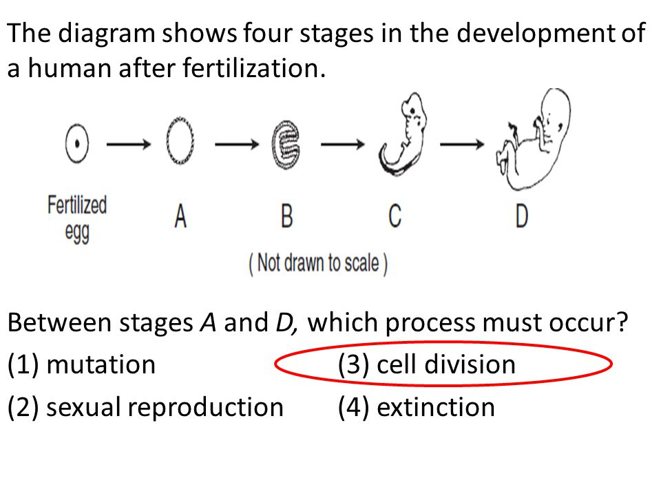 The diagram shows four stages in the development of a human after fertilization.