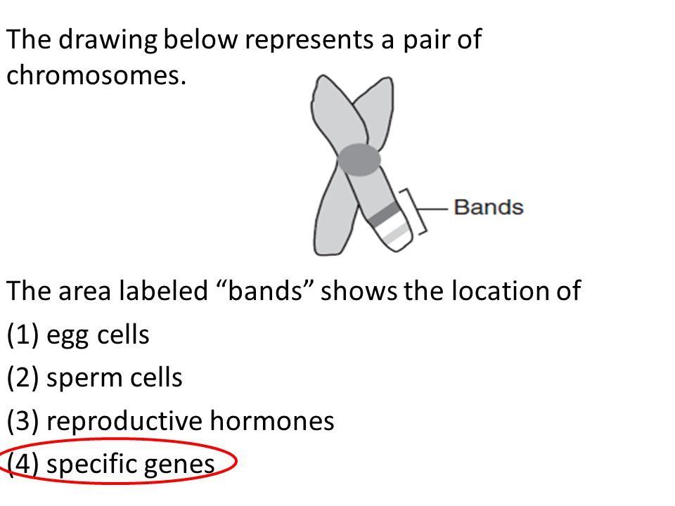 The drawing below represents a pair of chromosomes