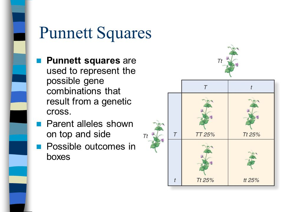 Punnett Squares Punnett squares are used to represent the possible gene combinations that result from a genetic cross.