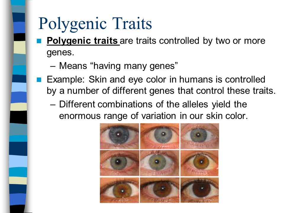 Polygenic Traits Polygenic traits are traits controlled by two or more genes. Means having many genes