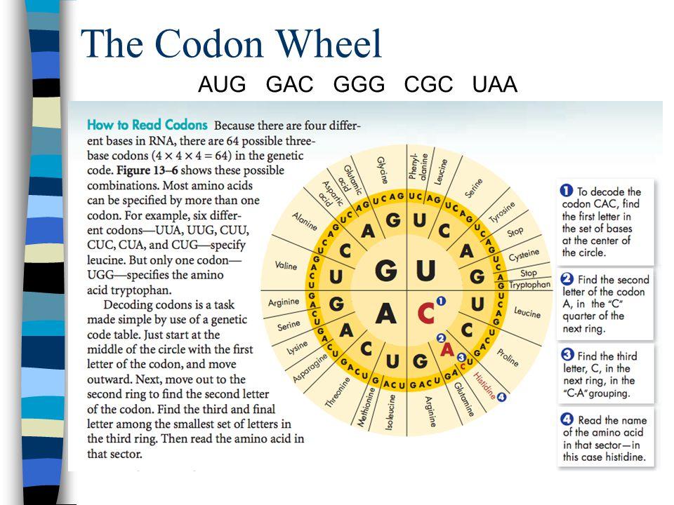 The Codon Wheel AUG GAC GGG CGC UAA