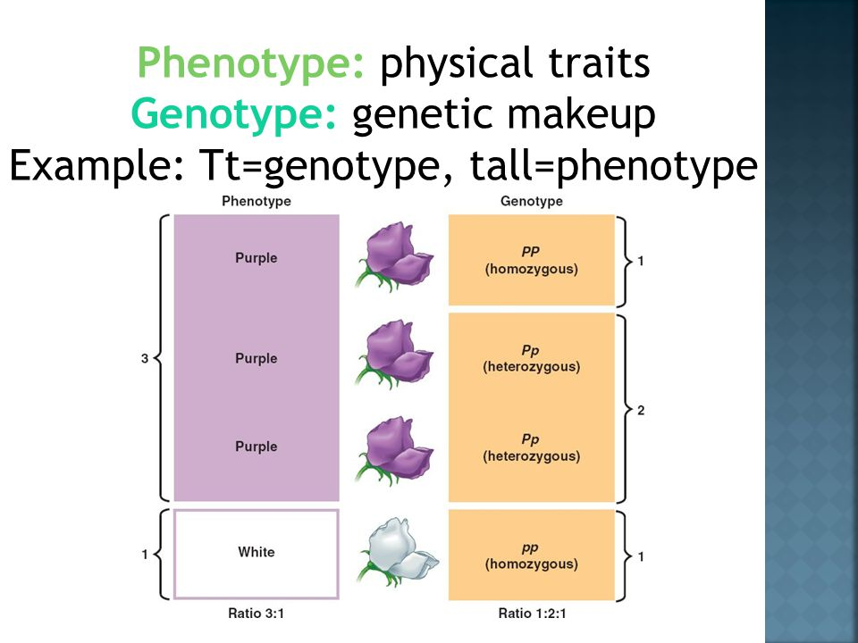 Phenotype: physical traits Genotype: genetic makeup