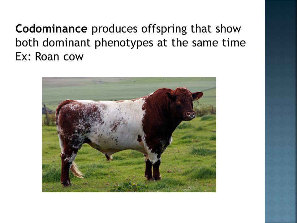 Codominance produces offspring that show both dominant phenotypes at the same time